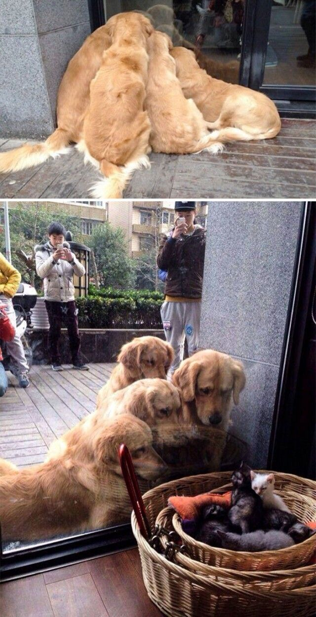 cute-labrador-retrievers-4-5a9e49fc9deb7__700_e