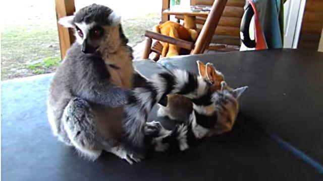 lemurs0