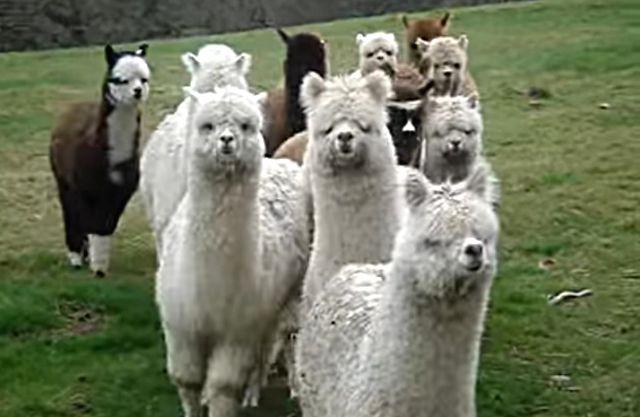alpaca-approach1