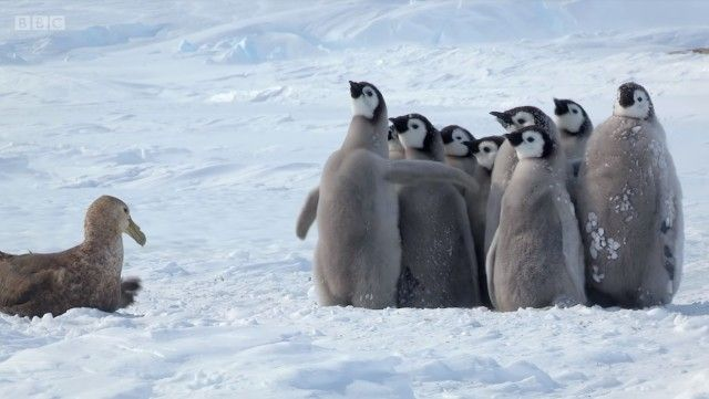penguinchicks0_e