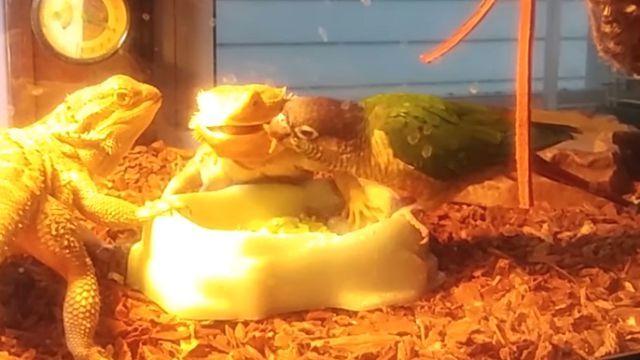 lizards9