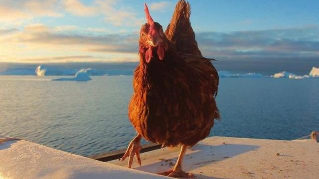chickenok