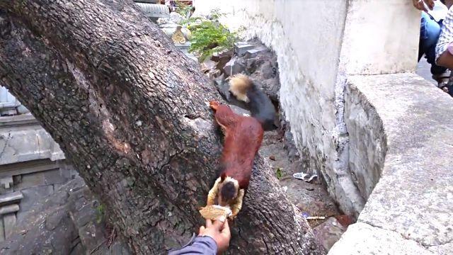 indiangiantsquirrel4