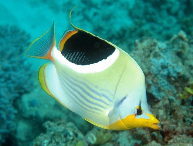 Lined-Butterflyfish_e