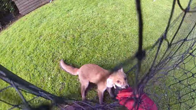 foxrescue3