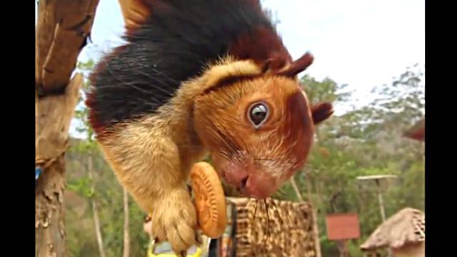 indianGiantSquirrel4