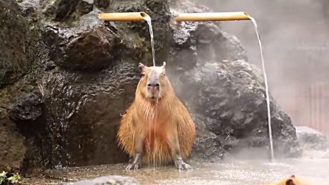 capybaraspa1