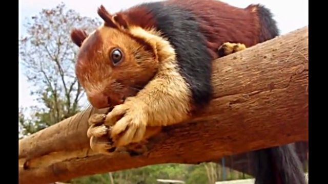 indianGiantSquirrel1