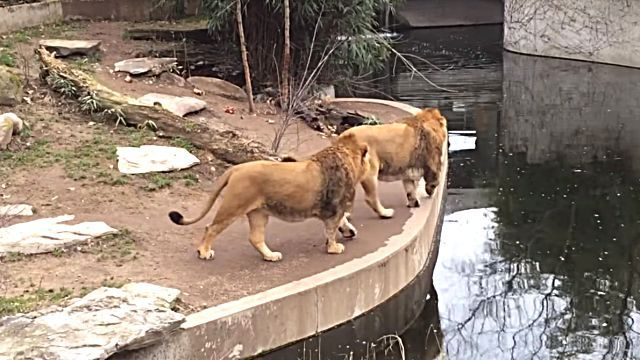 lionfallsinwater2