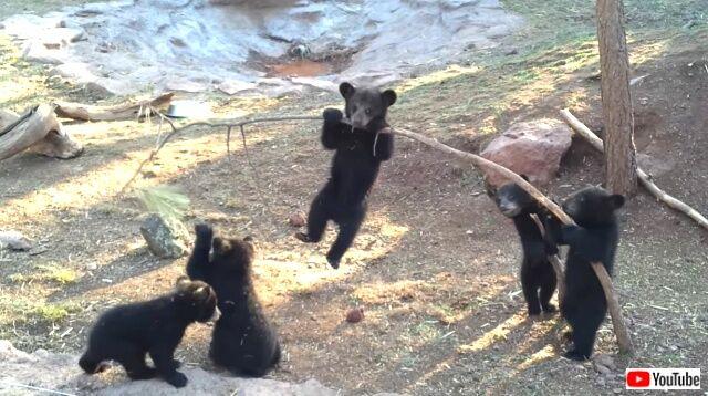 秋が来た!ヤンチャな子熊たちのプレイタイムにほっこりしよう