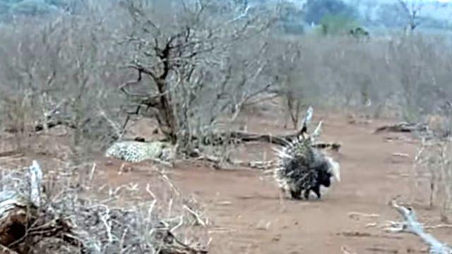 Porcupines1