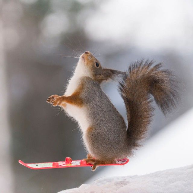 wintersportssquirrel13_e
