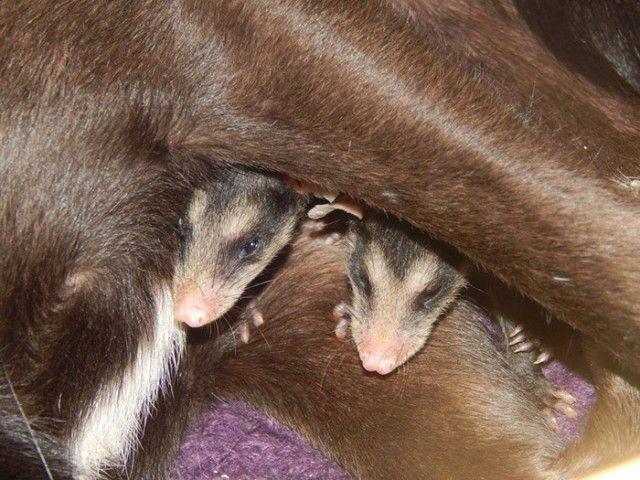 dog-adopts-opossums-baby-orphans-stephanie-maldonado-7_e