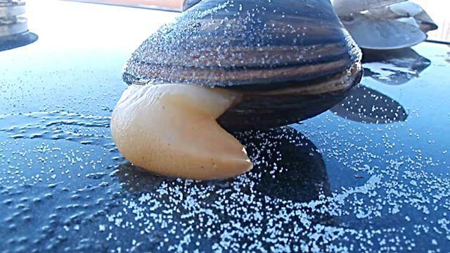 clam4