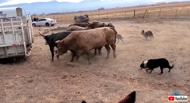 buckingbulls0_640