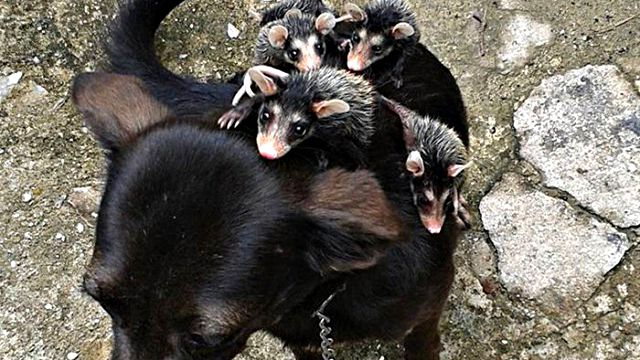 dog-adopts-opossums-baby-orphans-stephanie-a
