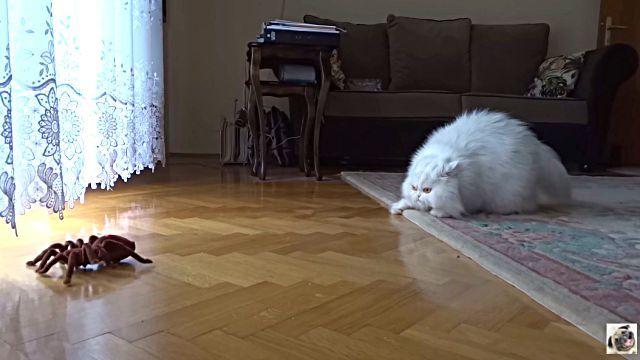 catnspider3