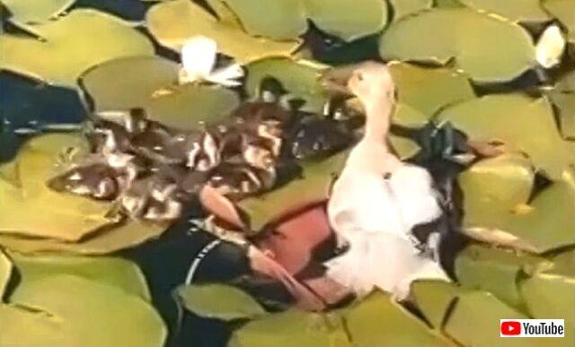 duck0_640