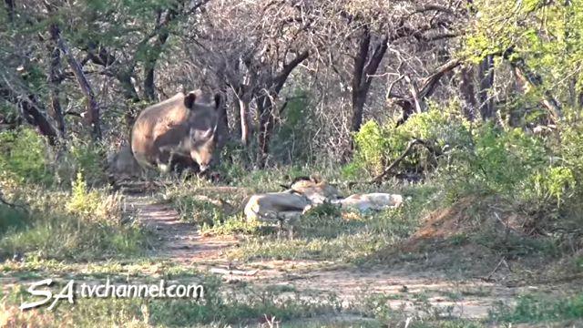 rhinos1