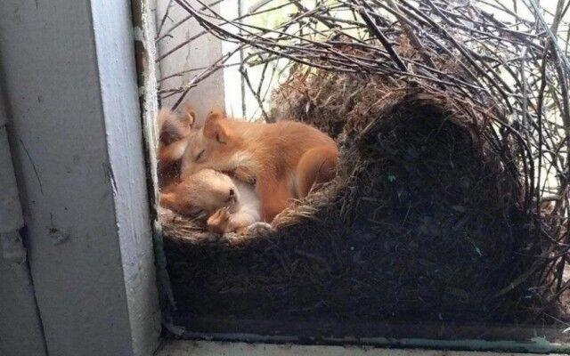 リスが家の窓で巣作ってた。リス一家ががぬくぬく眠る姿に関する海外の反応