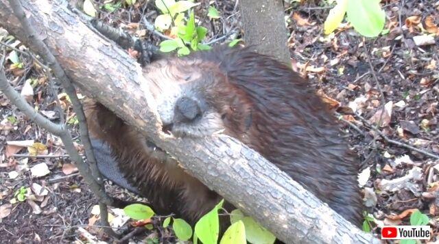 beaver7_640