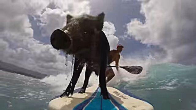 surfingpig4