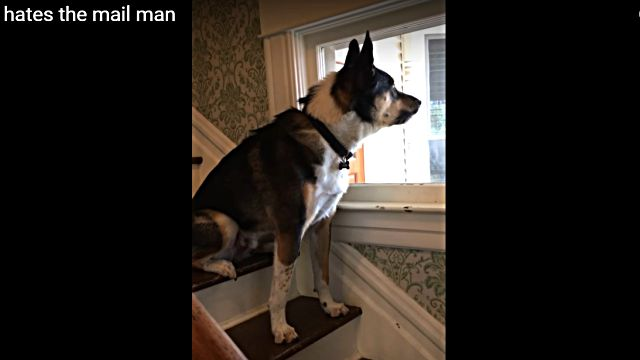 doghatesmailman1