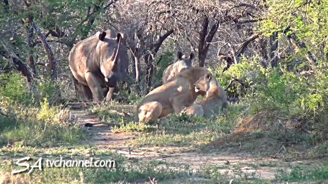 rhinos4