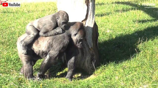 gorillas5_640