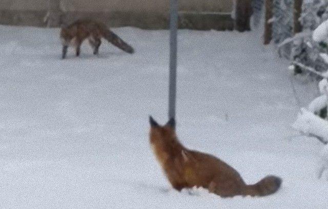 foxinthegarden1_e