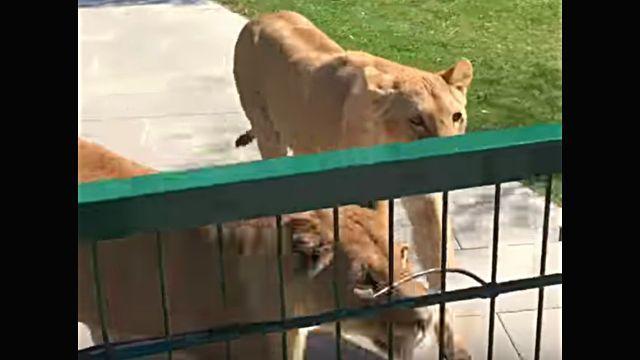 lionhug2