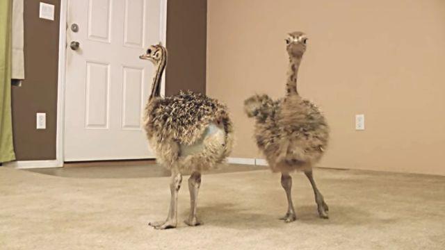 Ostriches1