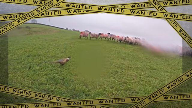 pheasant1-frame