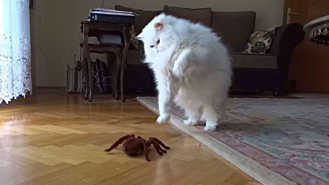 catnspider2
