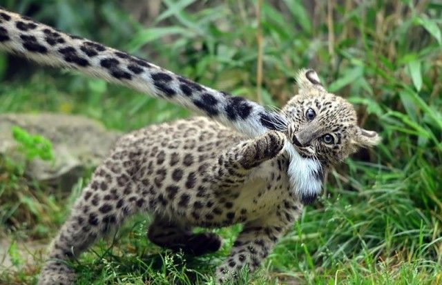 snowleopards4_e