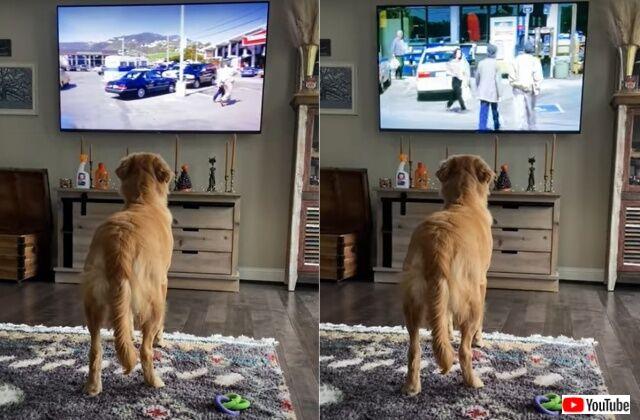 テレビ大好き犬「危ない!そいつは泥棒だよ!」と、画面の中の女性に警告する