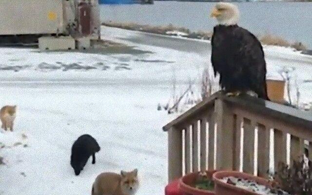 ハクトウワシにキツネが勢ぞろい。アラスカでは毎朝動物たちがご挨拶に来るらしい