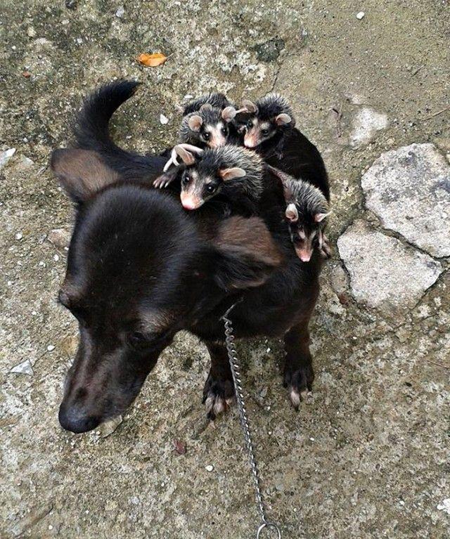 dog-adopts-opossums-baby-orphans-stephanie-maldonado-151_e