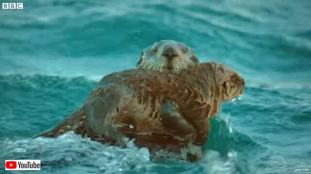 seaotters4_640