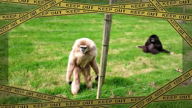 gibbon1-frame