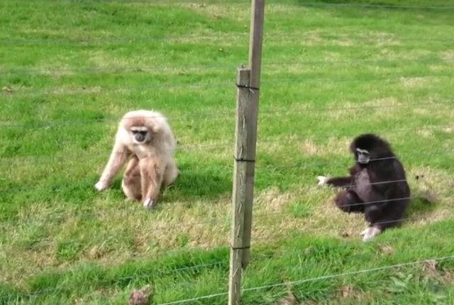 gibbon4