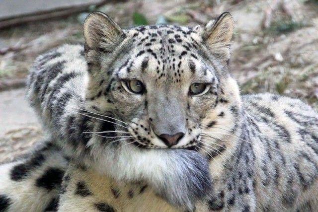 snowleopards3_e