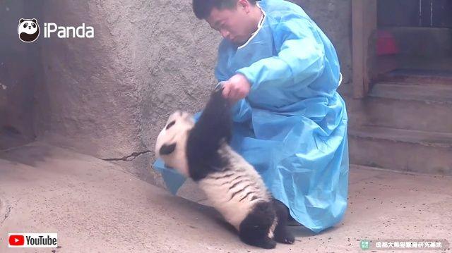 そうだね、抱っこしてくれるなら移動してあげてもいいよ!意地でも自分では動かない子パンダ