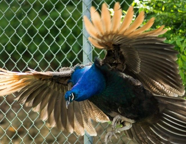 Flight-of-the-Peacock_e