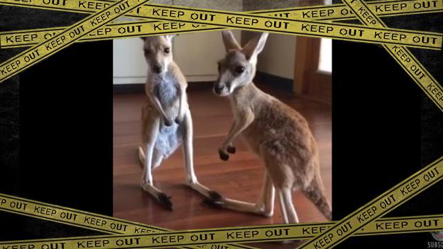 kangaroo-f [www-frame