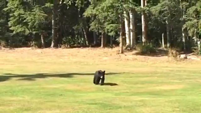 golfbear2