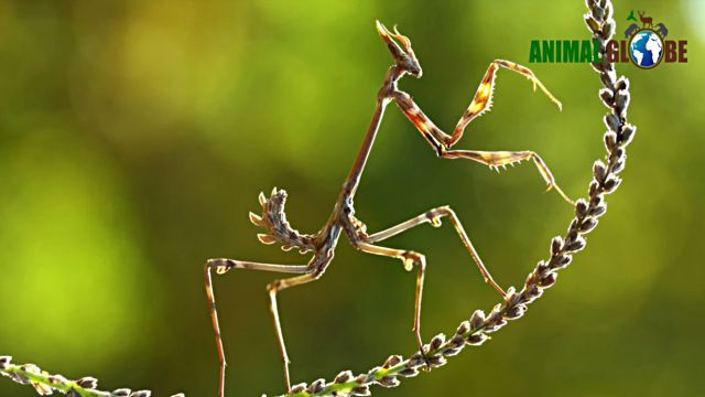 prayingmantis11