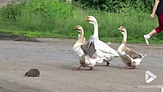 geese-escort-hedgehog0
