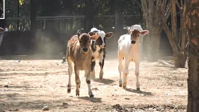 calf5