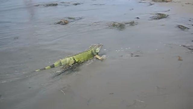 iguanabeach2